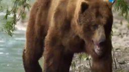 В мире животных с Николаем Дроздовым. Бурые медведи. Выпуск 12. Сезон 2