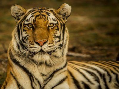 Амурский тигр — самая большая дикая кошка